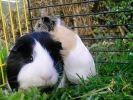 deux cochons d'inde cage