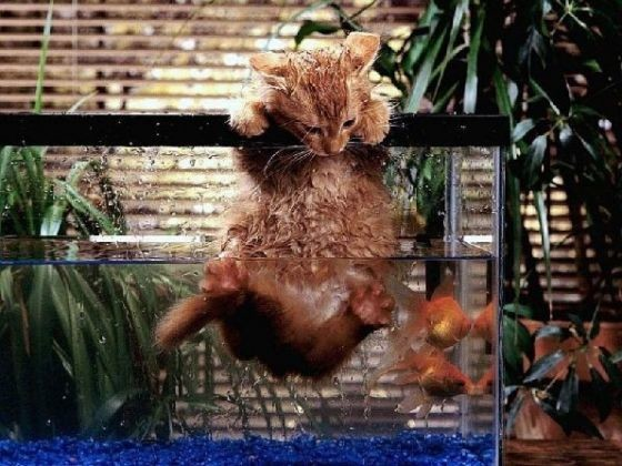 chat dans aquarium