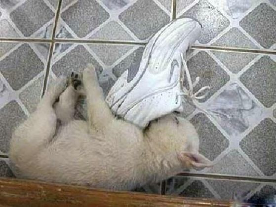 chiot dort chaussure