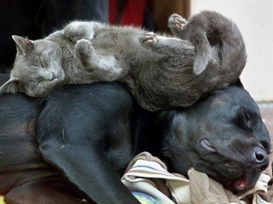chat dort sur gros chien
