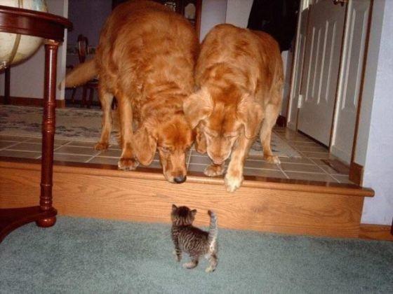 chiens regardent chat