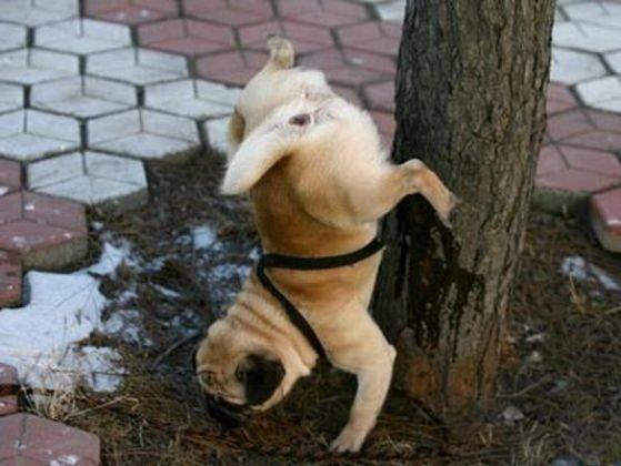 chien fait pipi en l'air
