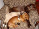deux chiens un chat sieste fauteuil