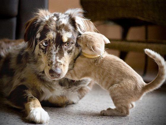 chaton chien berger australien
