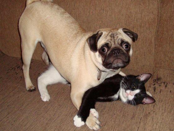 chien carlin chat noir blanc