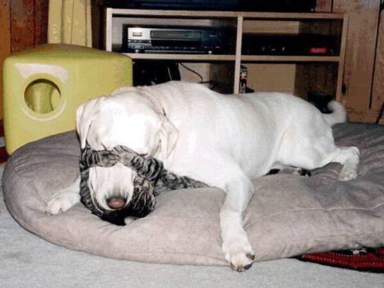 chien labrador chien chat