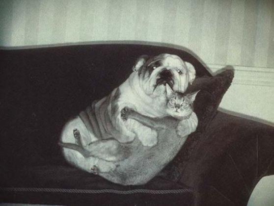 bulldog chat calin