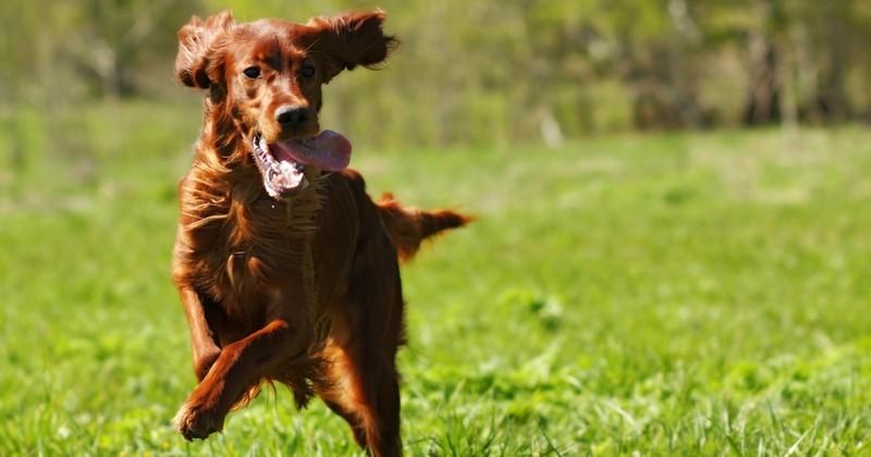 top 10 des races de chiens les plus b n fiques pour la sant choisir son chien wamiz. Black Bedroom Furniture Sets. Home Design Ideas