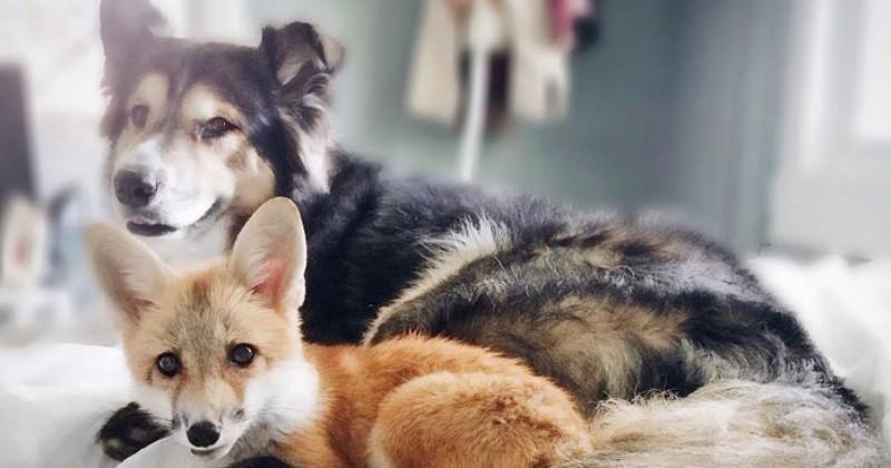 Ce chien et ce renard orphelin sont devenus les meilleurs amis du monde ins - Croisement chien insolite ...