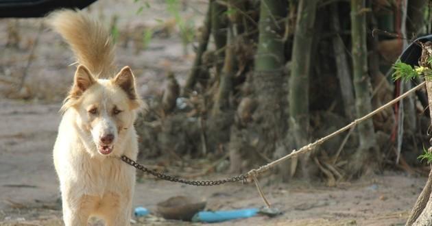 chien attaché arbre chaînes