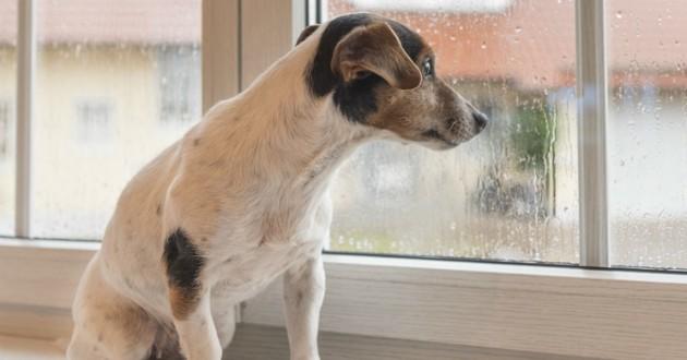 chien jack russel