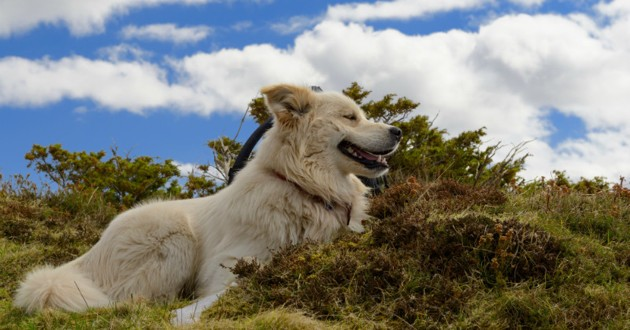 chien berger blanc