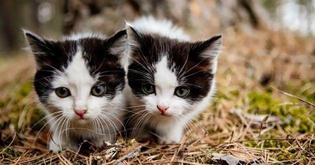 deux chatons identiques