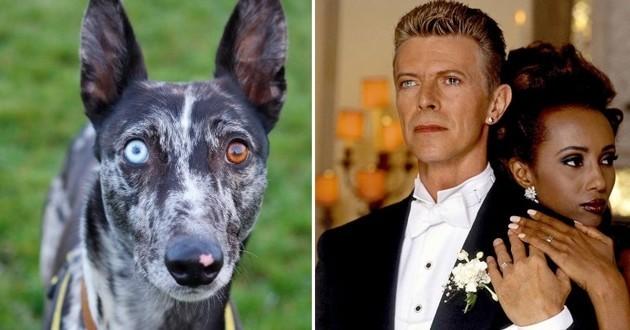 Bowie le chien aux yeux vairons
