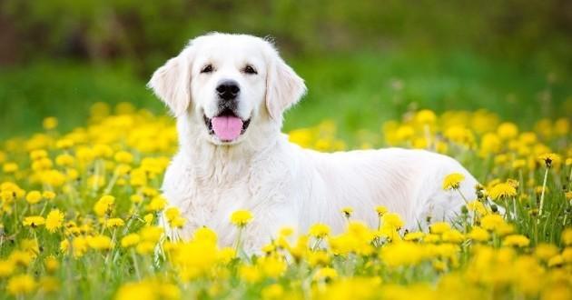 chien au milieu des fleurs