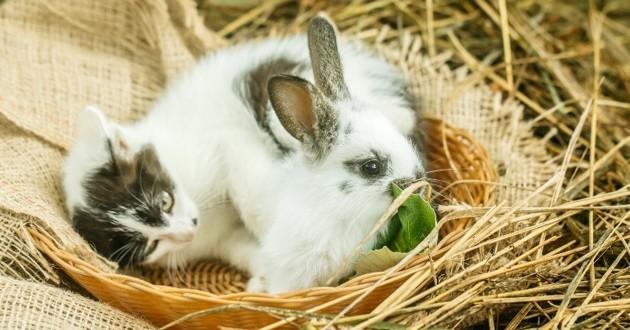 chaton avec un lapin