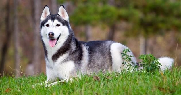 husky condamné à mourir