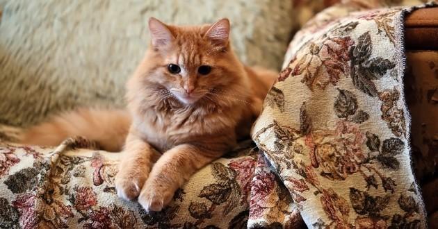 chat roux sur un canapé