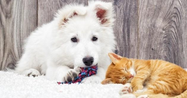 chat et chien poilus