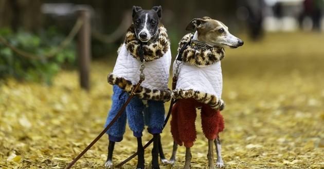chiens habillés