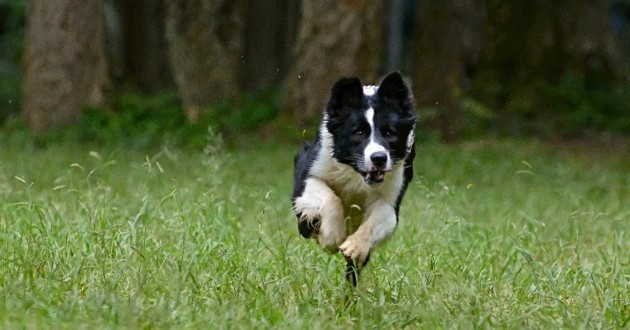 border collie qui court