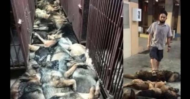 chiens abatus koweit