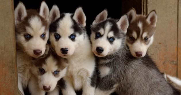 cinq petits chiots Husky