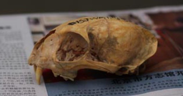 crâne chat