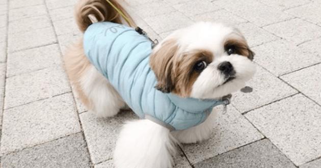 Shih tzu qui porte un manteau et qui regarde l'objectif