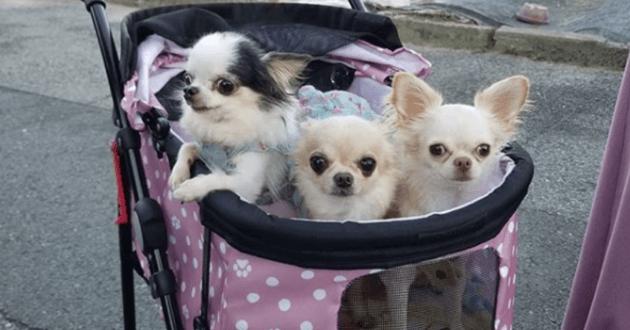 Chihuahuas dans une poussette