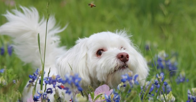un petit chien blanc dans un champ avec une abeille