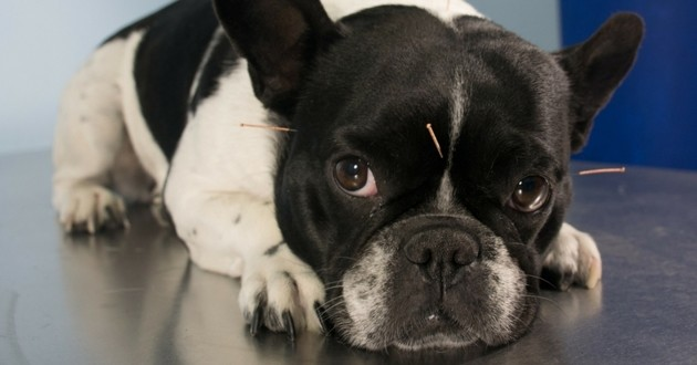 acupuncture chien