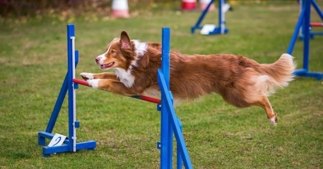 agility sport chien