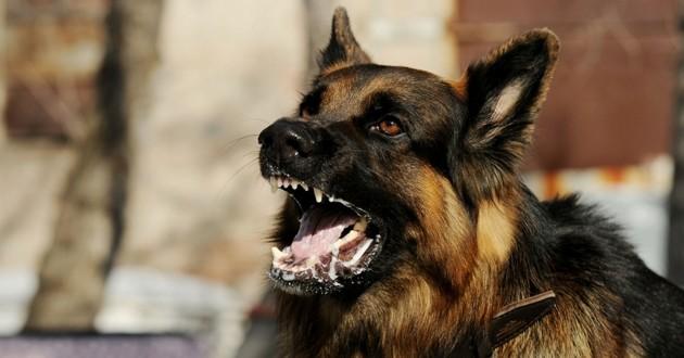 chien morsure