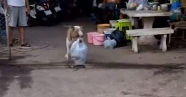 american bully avec un sac dans la bouche