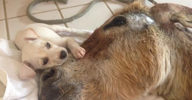 chiot âne amitié
