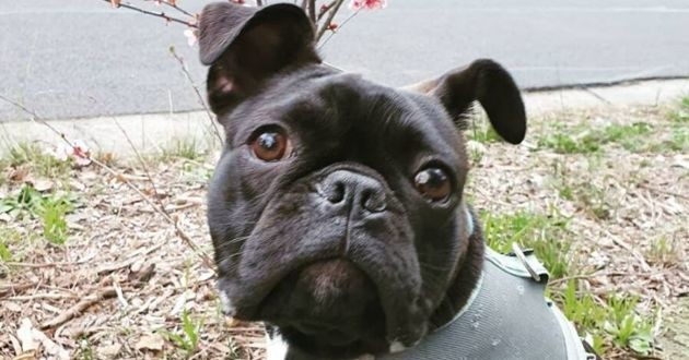 archie un chiot frenchton
