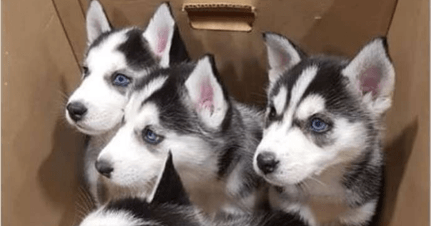 Attention Arnaque Des Bebes Huskies A Donner Sur Facebook Web Wamiz