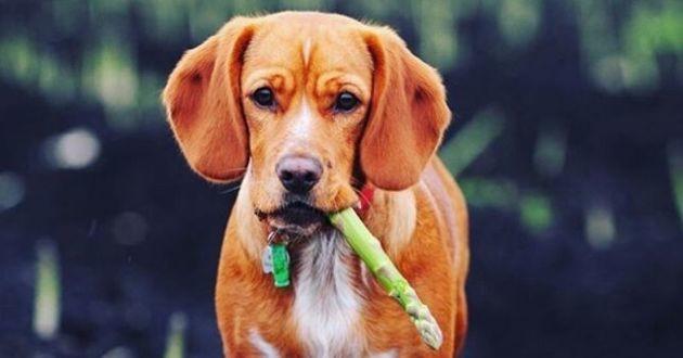 chien qui croque une asperge