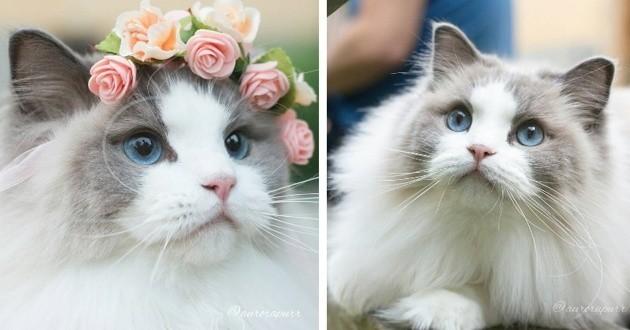 Aurora le chat ragdoll