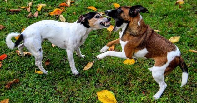 Bagarre entre deux chiens
