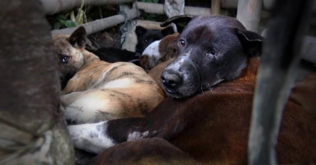 bali viande chien