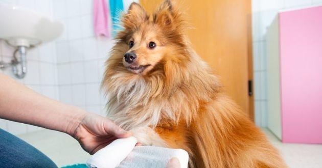 chien bandage