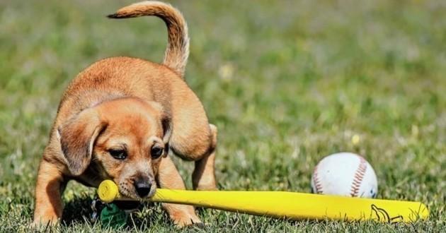 chien baseball