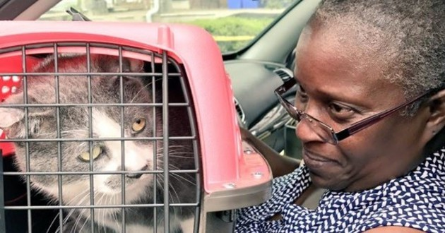 chat gris cage transport