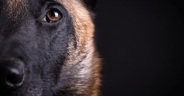 Portrait d'un chien Malinois sur fond noir