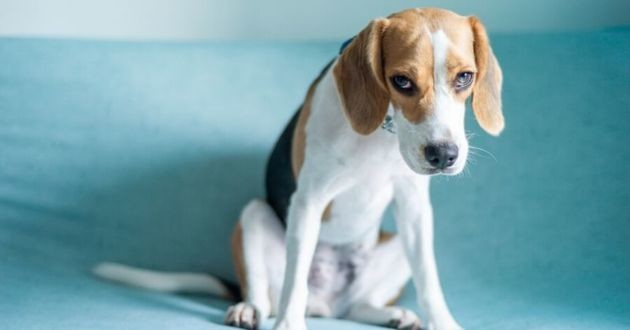 un beagle inquiet