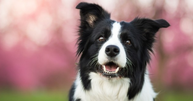 un beau border collie sur fond rose