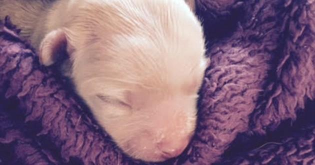 chiot bébé chihuahua