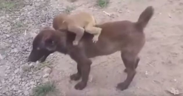 n bébé singe sur le dos d'un chien
